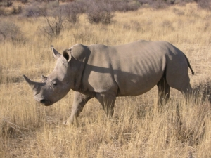 Rhino poaching is on the rise.