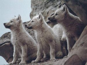 Obama administration plans to slaughter wolves.