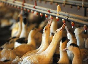 Foie gras continues to spark outrage from all sides.