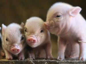 Scientists reveal pigs as smart as dogs.