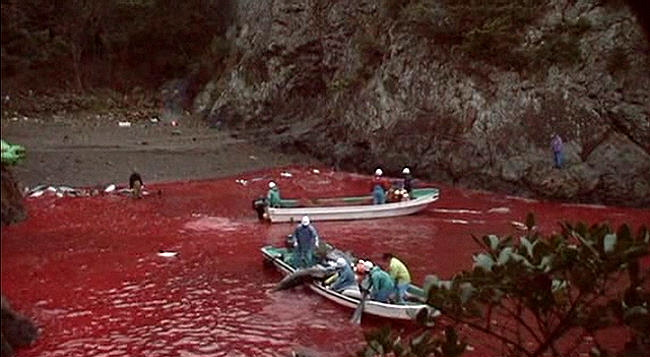 dolphin slaughter in japan Warning: blood - there is nothing funny about this video it shows dolphins being brutally killed in japan.