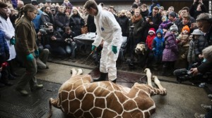 A perfectly healthy young giraffe named Marius was shot dead at Copenhagen zoo on Febuary 9, 2014 despite an online petition to save him.