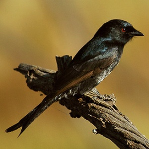 The Forked Tailed Drongo steals food by imitating others.